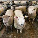 17/5/2018. Loughrea Sheep Mart Lot Number 186 Weight 48.5K Quantity 4 Type Lambs Price €146 Photo Brian Farrell
