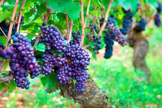 Grapes growing in a vineyard in the Burgundy region of France
