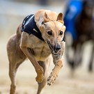 The Larry O'Shea-owned Whoops Jack gained a thrilling victory in the second semi-final at Towcester. (stock picture)