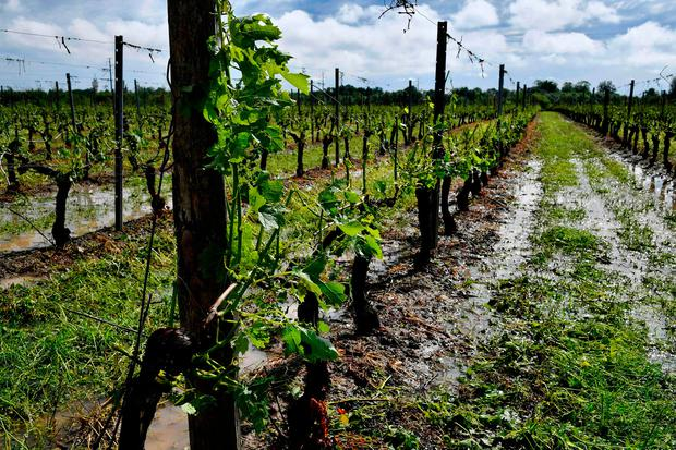 Vines damaged and without leaves in a vineyard in Macau, near Bordeaux following a violent storm in the region. Photo: AFP/Getty Images