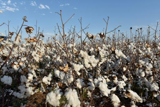 Cotton left over from last years harvest is seen in a field near Wakita, Oklahoma, U.S., May 11, 2018. Picture taken May 11, 2018. REUTERS/Nick Oxford