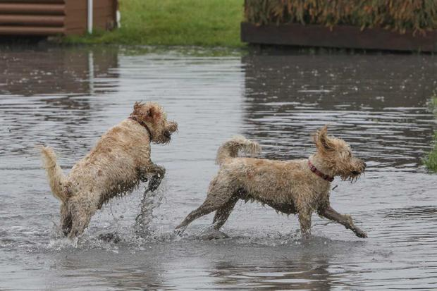 A pair of dogs cool off at the water jumps section during the cross country action today at Tattersalls International Horse Trials & Country Fair. Photo: Radka Preislerova