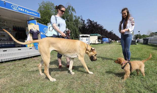 Colleen Murphy and her Great Dane Nollaig and Hannah Berry with her puppy Orla enjoy the sunshine in Ratoath Co Meath for the Tattersalls International Horse Trials and Country Fair. Photo: Lorraine O'Sullivan
