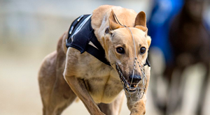 String Of Pearls finally got off to a reasonable start and won the opening semi-final of the Barry's Tea Open 750 at Curraheen Park by three parts of a length from Ballymac Sarahjo (stock picture)