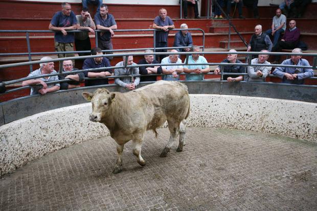 2/6/2018 Carrigallen Mart Lot Number 557 Weight 430K DOB 20/9/17 Breed Sex Bull Price €1170 Photo Brian Farrell