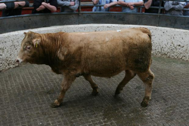 2/6/2018 Carrigallen Mart Lot Number 535 Weight 415K DOB 24/4/17 Breed CHX Sex Bull Price €960 Photo Brian Farrell