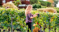 Wine harvest at Le Saint-James, Bordeaux