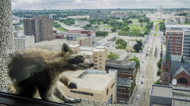 A raccoon stretches itself on the window sill of the Paige Donnelly Law Firm (AP)