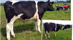 What a difference a few weeks makes; John Heney's store cattle were looking under the weather when they first were let out but are clearly thriving are a few weeks of grass and sunshine, as can be seen by the before (inset) and after photos of this particular animal.