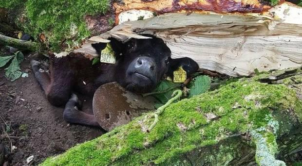The calf became trapped under a tree. Credit: BBC