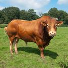 To maximise fertility, bulls, need to grow naturally at 1-1.5kg /day to ensure optimum development.Stock image.