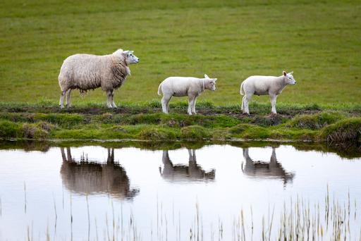 Prices have now stabilised around €6.00-6.10/kg for lamb, with cull ewes on €3.00/kg.