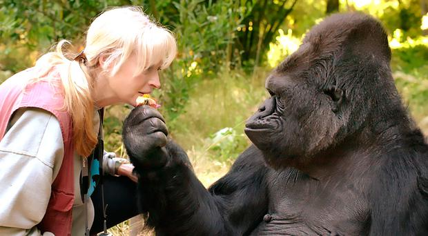 Koko, the extraordinary gorilla who mastered sign language, dies at 46