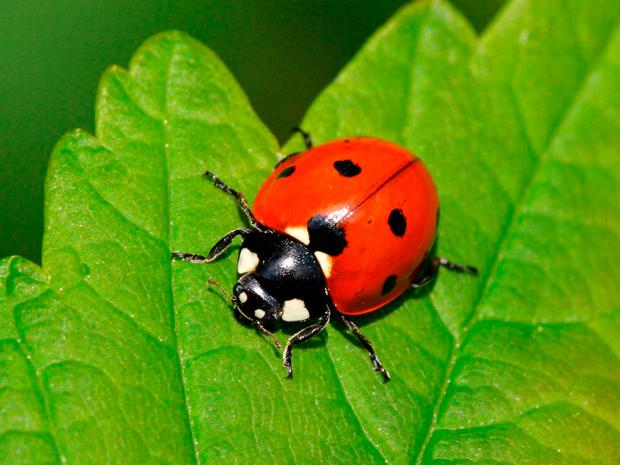 ECO DISASTER: The disappearance of ladybirds is worrying for the environment
