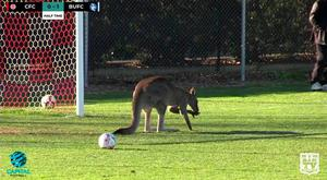 A kangaroo invades the pitch during a soccer match between Canberra FC and Belconnen United in Canberra, June 24, 2018, in this still image taken from video obtained from social media. MANDATORY CREDIT. BarTV Sports/Capital Football/via REUTERS THIS IMAGE HAS BEEN SUPPLIED BY A THIRD PARTY. NO RESALES. NO ARCHIVES MANDATORY CREDIT.