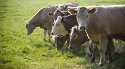 Farmers have very little options in terms of where to sell finished organic cattle