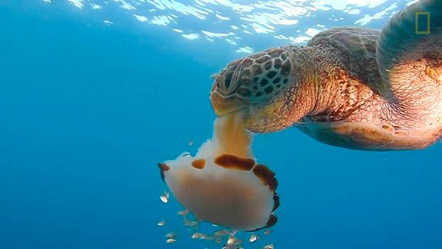 A green sea turtle makes short work of a Lion's Mane jelly in the seas off Queensland, Australia
