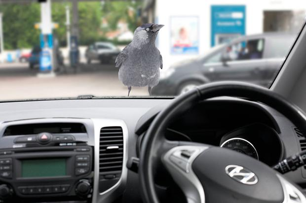 The jackdaw looking through the windscreen