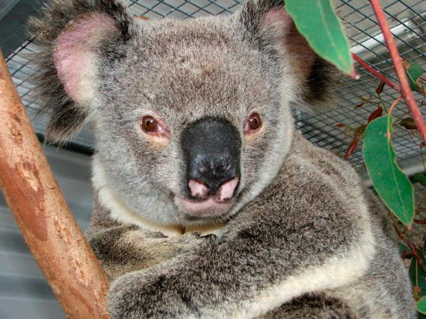 Koalas are at risk of destroying their own habitat