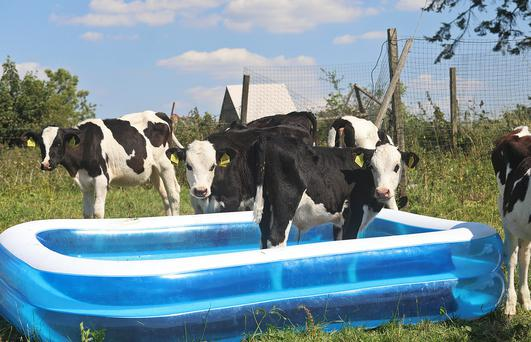 Come on in, the waters freisian! Calves on John Tilsons farm at Gartnaskill, Cavan cool off as temperatures remain in the high 20s on Wednesday afternoon. Photo: Lorraine Teevan