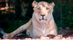 Lions were heard making a commotion on Monday