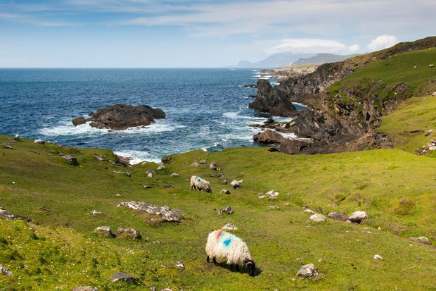 Herd of Black Face sheep grazing on cliffs at the westcoast of Ireland.