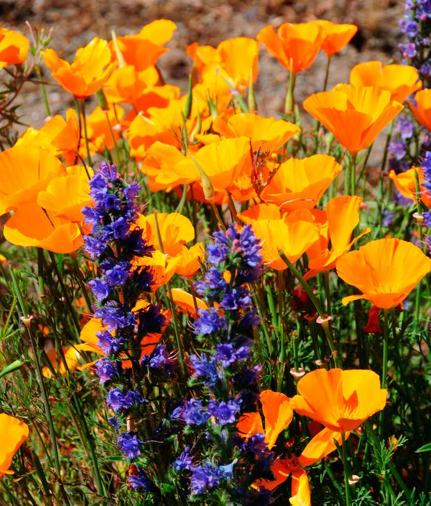 SEEDS: Blue wild echium and California poppy, both self-sown