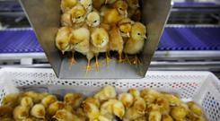 Recently hatched layer chicks drop into a crate as they are prepared for shipment to customers at the Huayu hatchery in Handan, Hebei province, China, June 25, 2018. Picture taken June 25, 2018. REUTERS/Thomas Peter