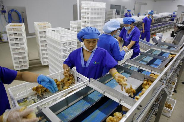 Workers prepare recently hatched layer chicks for shipment to customers at the Huayu hatchery in Handan, Hebei province, China, June 25, 2018. Picture taken June 25, 2018. REUTERS/Thomas Peter