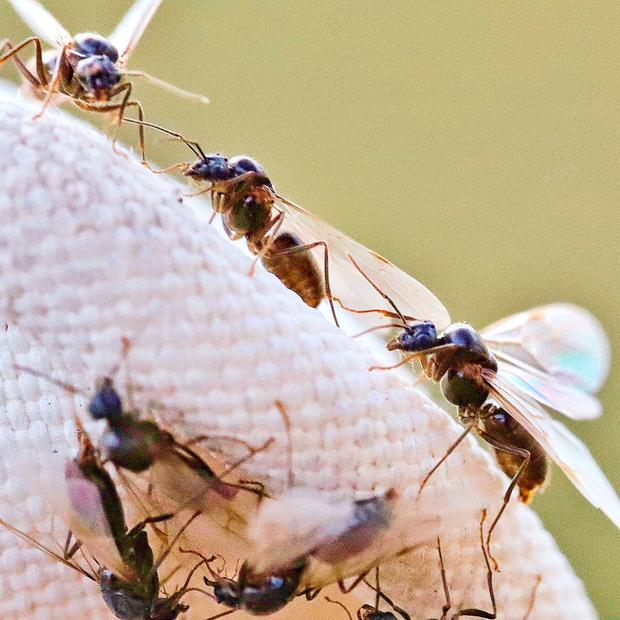 A swarm of flying ants in north Dublin in search for a mate in this 'nuptial flight' ritual that usually doesn't happen until July 20, Photo: Adrian Weckler