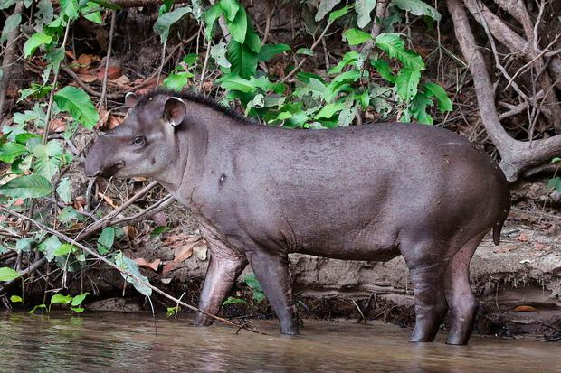 A file image of an adult tapir
