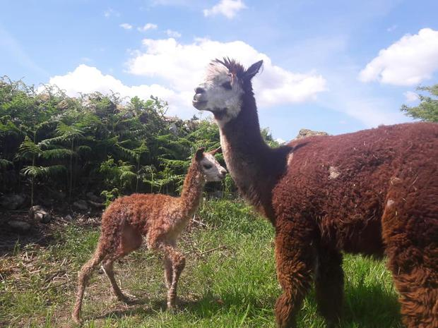Ruth gained an interest in alpacas after meeting a breeder at a 'glamping' conference in the UK