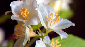 Dramatic: Philadelphus