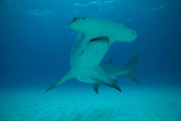 Hammerhead sharks could become more common in Irish waters due to global warming