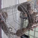 Rats caught at the Marmion Court Flats, Blackhall Street yesterday. Photo: Colin O'Riordan