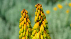 HOT FAVOURITE: Aloe flowers well in sunny and dry weather