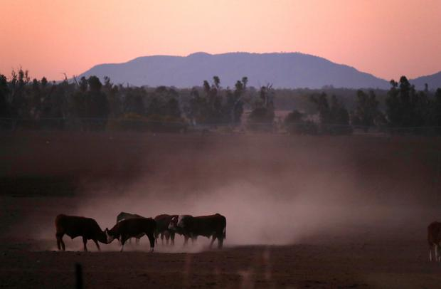 Cattle push each other as they kick-up dust at sunset on farmer Tom Wollaston's drought-effected property, located west of the town of Tamworth in north-western New South Wales, in Australia, June 1, 2018. REUTERS/David Gray