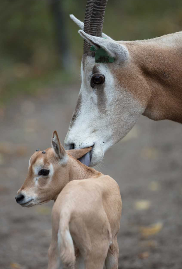 A baby oryx with his mother at Dublin Zoo. Photo: Dublin Zoo
