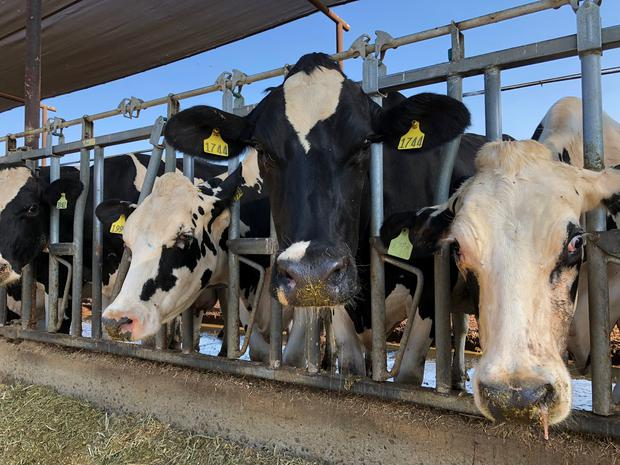 Cows are feeding at Mancebo Holsteins in Tulare, California, U.S., July 24, 2018. Picture taken on July 24, 2018. REUTERS/Jane Ross