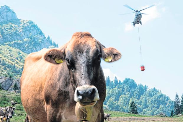 The Swiss army transports water to cattle in the Alpine meadows during the heatwave . Phnoto: AP