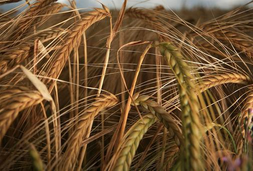 Barley has been a very pale colour this year. File Photo