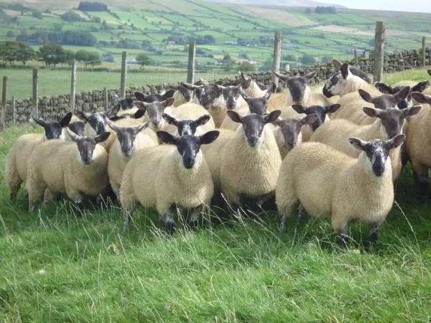 The Borris Ewe is well known for its hardiness and maternal traits