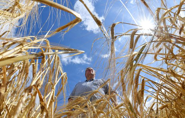 Farmer David Barton stands amongst his barley crop at Manor Farm in Middle Duntisbourne in south west Britain, August 1, 2018. Picture taken August 1, 2018. REUTERS/Toby Melville