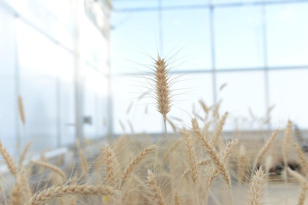 Mature high-fiber wheat plants are grown in a Calyxt greenhouse in New Brighton, Minnesota, U.S.. Courtesy Calyxt/Handout via REUTERS.