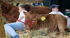Patricia Moore (11) and JJ Keane (11), from Westport, Co Mayo, having a nap with their calves at the Tullamore Show. Photo: Colin O'Riordan