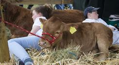 Patricia Moore (11), and JJ Keane (11) Westport pictured having a nap with their calves at The Tullamore Show yesterday. PIC COLIN ORIORDAN