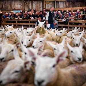 Up to fifteen thousand sheep from all over the north of Scotland can be bought or sold. (Photo by Jeff J Mitchell/Getty Images) BESTPIX