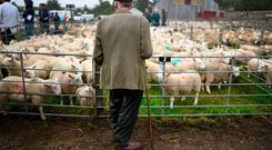 LAIRG, SCOTLAND - AUGUST 14: Potential buyers watch as sheep farmers gather at Lairg auction for the great sale of lambs on August 14, 2018 in Lairg, Scotland. Lairg market hosts the annual lamb sale, which is one of the biggest one day livestock markets in Europe, when up to fifteen thousand sheep from all over the north of Scotland can be bought or sold. (Photo by Jeff J Mitchell/Getty Images)