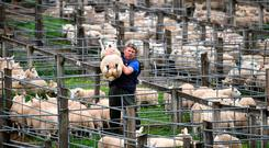 LAIRG, SCOTLAND - AUGUST 14: A farmer lifts a sheep at Lairg auction for the great sale of lambs on August 14, 2018 in Lairg, Scotland. Lairg market hosts the annual lamb sale, which is one of the biggest one day livestock markets in Europe, when up to fifteen thousand sheep from all over the north of Scotland can be bought or sold. (Photo by Jeff J Mitchell/Getty Images)