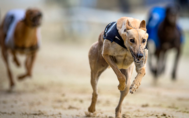Droopys Verve goes to traps this evening as the 12/1 favourite with the sponsors to win the 2018 BoyleSports Irish Derby at Shelbourne Park. Stock image: Getty